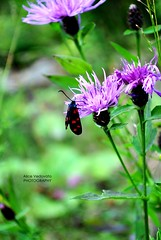 Little hearts on a little butterfly (alicevedovato) Tags: pink flowers red mountain black macro cute green nature butterfly hearts photography photo amazing nikon remember memories passion older d3000 nikond3000