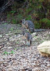 Wallaby Family (slaup) Tags: travel wild holiday animals joey wallaby sa southaustralia marsupials kangarooisland wallabies