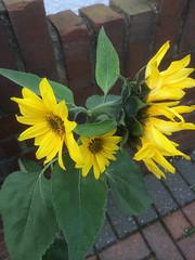 Triple headed Sunflower (Snoop Baggie Bag) Tags: england flower unitedkingdom sunflower 2014 triplehead stainesuponthames