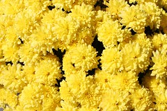 Sunshine Bright (bigbrowneyez) Tags: flowers nature beautiful yellow october bright sweet blossoms natura fresh mums dolce giallo fiori sole belli luce delightful chrysanthemums lemonyellow bananayellow sunshinebright