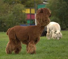 Avon Valley Adventure and Wildlife Park Keynsham Bristol (Welsh Harlequin) Tags: 15challengeswinner