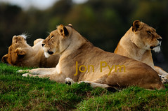 Lionesses (Grand-Poobar) Tags: africa park wild portrait eye nature wet rain animal female backlight cat mouth hair fur big intense dangerous feline open view leo display action fierce head african wildlife south teeth side wide lion nobody safari national raindrops strong wilderness aggressive predator growl roar lioness hostile carnivore kruger ferocious panthera