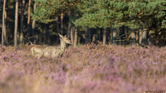 Red Deer (Wim Boon (wimzilver)) Tags: texture noordzee wim roedeer hogeveluwe nationalparkdehogeveluwe wimzilver canon300mmf4lis14ex canoneosmark5diii