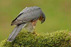 Sparrowhawk (MOZBOZ1) Tags: