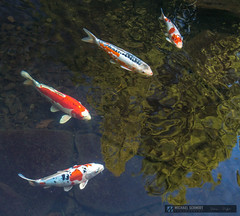 2014-10-13 Oregon Portland Japanese Garden Koi-17 (Michael Schmidt Photography Vancouver) Tags: blue school red orange brown white fish black reflection green yellow swimming grey beige watergarden koi spotted gravel pictureperfect domesticated patterned coloration butterflykoi goshiki kohaku nishikigoi kawarimono koromo bekko chagoi utsurimono ochiba patterning gosanke asagi scalation brocadedcarp ghostkoi coldwaterfish commoncarpcyprinuscarpio kinginrin gon taishosanshoku showasanshoku hikarimoyomono taishosanke tanch shsui decorativepurposes kumonry kikokury kinkikokury doitsugoi michaelschmidtphotographyvancouverbc wwwmichaelschmidtphotographycom httpwwwflickrcomphotosdmichaelschmidtsets dmschmidtshawca httpswwwfacebookcommsphotographyvancouver httpswwwthisiswhatiseeca michaelmspixca salesmspixca httpsplusgooglecomb115575222591610367933115575222591610367933posts httpstwittercommspixvancouver httpwwwredbubblecompeoplemspixvancouvershop httpsmspixvancouveretsycom aquaculturedasafoodfish extensivehybridization ornamentalvariety outdoorkoipond