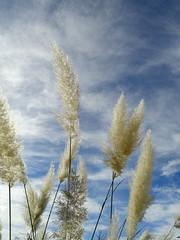 Plomalls (Dolors Mª) Tags: plumeros florssilvestres plomalls