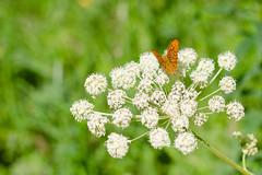 DSC_6420 (sir.yoga) Tags: flowers bratsk easternsiberia