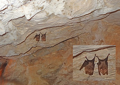 Macedonia, Drama, bats on the ceiling of Angitis river source cave,  Greece (Macedonia Travel & News) Tags: greece macedonia macedonian ancient greek culture vergina sun hellenic republic greecemacedonia history alexander great philip macedon nato eu fifa uefa un fiba macedonianstar verginasun aegeansea prilep tetovo bitola kumanovo veles gostivar strumica stip struga negotino kavadarsi gevgelija skopje debar matka ohrid fyrom heraclea lyncestis mavrovo macedoniablog 8495328 macedoniagreece makedonia timeless macédoine mazedonien μακεδονια македонија travel macedoniatimeless