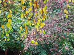 Shades of autumn (Ruth and Dave) Tags: pink autumn tree leaves colours ubc shrub katsura ubcbotanicalgardens universityofbritishcolumbia berrires