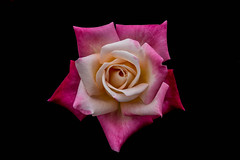 Rose (shashin62) Tags: pink red white flower rose thailand cream petal chiangmai