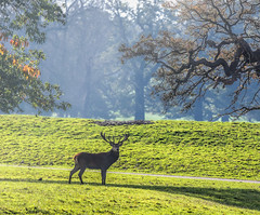 Stag in the Trees_1536web (Hertsman) Tags: