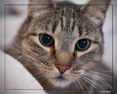 All Eyes (gtncats) Tags: pet cat eyes tabby felineportrait canon70d felinefaces photographyforrecreation infinitexposure