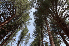 Big trees (Wrinkledpeach) Tags: trees texture woods laketahoe bark firs talltrees