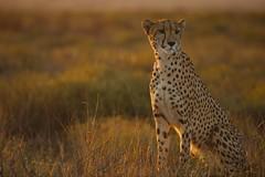 Cheetah Lookout