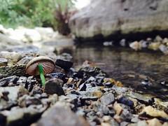 Passeig pel tollet de la V ( alfanhu) Tags: macro mushroom pond smartphone seta sella iphone tollet