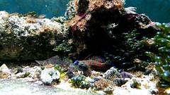 fish canada coral winnipeg tank manitoba mandarin liverock saltwater gobe