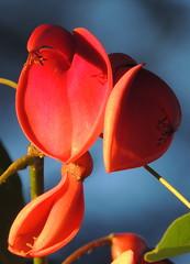 Ceibo (Diego ヅ) Tags: flower macro flor picodegallo ceibo erythrinacristagalli seibo gallito flordecoral bucaré mimamor árboldelcoral diegostiefel