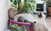 Wilfred and Vega (carmenrizo) Tags: naturaleza nature beauty ilovemycat siamesecats catcloseup catseyes ilovecats beautifulcats youngcats nosecats gatosdelmundo gatosdeflickr