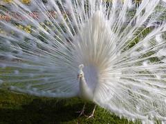 Albino Peacock (Ria en Reinier) Tags: white bird beautiful beauty birds fauna feather peacock albino pauw rotse coth5