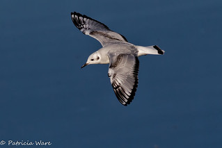 One of the Smallest Gulls