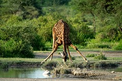 Tanzanie_1143_3 - Version 2 (20100cdn) Tags: tanzania girafe tanzanie seregenti
