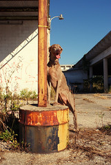 Pillar of all that is good ! (saikiishiki) Tags: dog abandoned florida wanderlust weimaraner urbex weim mukha abandonedplaces indogwetrust rurex explorida flurbex exploremore abandonedflorida abandonedfl exploreeverything ifuckinglovemydog roamflorida