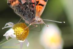 Mariposa 5 (SOBREVALORADO) Tags: chile flowers flores insectos flower colors beauty canon butterfly flora plantas flor insects colores polen campo mariposa silvestre belleza vegetacin santiagodechile campestre noviciado polinizacin