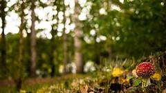 Amanite (olyv70) Tags: france mushroom automne rivire arbre parc champignon erdre amanite tuemouches loireatlantique chantrerie