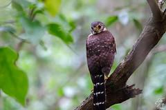 Barred Forest-Falcon - Micrastur ruficollis guerilla (Jorge De Silva R) Tags: de la aves guerilla campeche barred reserva calakmul ruficollis biosfera micrastur forestfalcon