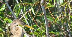 Bird (Erik Cleves Kristensen) Tags: usa florida everglades evergladesnationalpark sharkriver