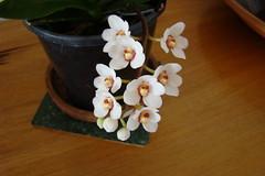 sarcochilus falcatus (alass) Tags: orchidaceae sarcochilus falcatus arfp sarcochilusfalcatus orangeblossomorchid vrfp nswrfp qrfp arfepiphyte arflithophyte arfflowers whitearfflowers tropicalarf subtropicalarf