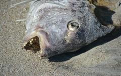 Decomposing Fish (TtownStudios) Tags: ocean sun fish beach animal sunrise dead photo sand tag teeth salt gross epic nasty deadly fishy ttown decomposing