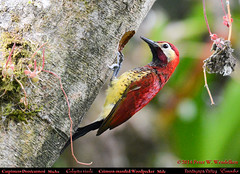 CRIMSON-MANTLED WOODPECKER Male Colaptes rivolii in Front of Nest Hole in the Tandayapa Valley of northwestern Ecuador. Photo by Peter Wendelken. (Neotropical Pete) Tags: ecuador woodpecker ngc npc colaptes picidae tandayapavalley ecuadorbirds piculus southamericanbirds crimsonmantledwoodpecker piculusrivolii colaptesrivolii andeanbirds peterwendelken neotropicalwoodpecker carpinterodorsicarmesí ecuadorwoodpeckers southamericanwoodpeckers valledetandayapa woodpeckerphotobypeterwendelken crimsonmantledwoodpeckerinecuador crimsonmantledwoodpeckermale fotodecarpinterodorsicarmesí crimsonmantledwoodpeckernest