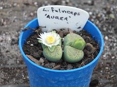 DSCF0405 (BobTravels) Tags: plant stone bob lithops lithop messem bobwitney