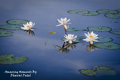 Flower (dhavalpatel2) Tags: blue white lake flower green art nature water amazing colorful lotus reflaction