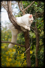 Precarious Percher (Craig Jewell Photography) Tags: tree cat iso800 diesel australia 100mm perch ridiculous 11months ragdoll f40 precarious 2014 0ev sec ef100mmf28lmacroisusm canoneos1dmarkiv filename20140323140741x0k0030cr2