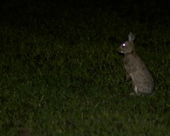 Rabbits at night. (clicka13) Tags: wild england rabbit nature field night photography wildlife north east nightime rabbits tyneside photographing burradon