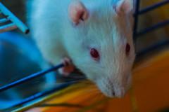 DSC_0354-2 (chetvericov) Tags: portrait white cute nikon rat wistar nikon1
