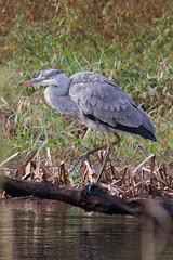 IMG_6008.jpg (Kico Lopez) Tags: birds rio spain aves galicia handheld ardeacinerea lugo mio garzareal ef55250