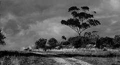 Eucalyptus (rgrant_97) Tags: walking rabaçal penela soure portugal caminhadas autumn outuno tree árvore eucalyptus eucalipto juromelo