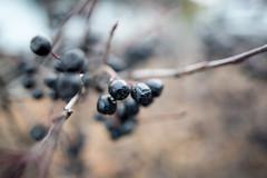 black berries 2 (hawk_mia) Tags: autumn black tree nature canon bush berries bokeh mark iii 28mm sigma 5d blackberries sigma28mm