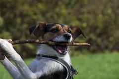 Jaimy fotoshoot (jcpronk) Tags: dog dogs jack spring russel hond gras fetch tak jackrussel pak spelen pakken honden springen jaimy kouwen pakwerk