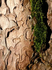 Baumrinde im Abendlicht (swi_) Tags: sunset tree forest moss spuren structures treebark bard wald baum moos abendlicht baumrinde strukturen
