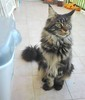 Maine coon brown tabby male (romeosilverpersian) Tags: mainecoon coonies cats cat gatto gattidirazza kitten pets animalidomestici purebredcats maineshag