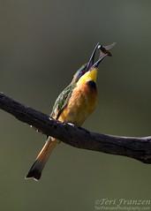 Little Bee-eater (tkfranzen) Tags: littlebeeeater beeeater birdbehavior meropspusillus birdphotography canon1dx canon wildlifephotography naturephotography animalplanet tnclivenature