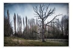 Under the Pear Tree (MartinFechtner-Photography) Tags: peartree tree baum birnenbaum dead tot winter painterly wattenscheid leithe fuji fujifilm xt2 1024mm