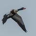 Common Shelduck. (Shaun's Wildlife Images....) Tags: birdsinflight ducks d500 300mmf28vrii wildlife