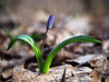 Snowdrop first spring bright flower at leaves (mironenko1990) Tags: snowdrop blue green nature background beautiful spring flower fresh sun plant bright closeup leaf color beauty macro forest petal bloom blossom elegant still siberian march squill scylla bluebell