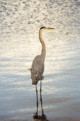 Hanging Out at the Boat Ramp (SteveFrazierPhotography.com) Tags: greatblueheron bird standing water reflection waves ripples surface ardeidae puntagorda poncedeleon historicalpark charlottecounty florida fl stevefrazierphotography christmas2016 sunset evening shore shoreline feathers