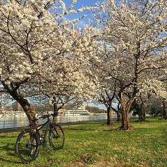 Cherry Blossom Commute (Mr.TinDC) Tags: dc washingtondc hainspoint trees biking bike cherrytrees cannondale badboy cherryblossoms spring